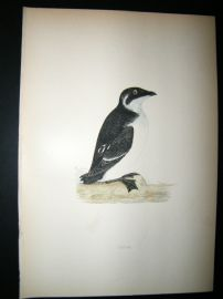 Morris 1870 Antique Hand Col Bird Print. Rotche